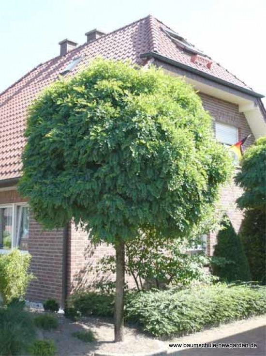 robinia akacjowa umbraculifera 39 g ste kuliste drzewo. Black Bedroom Furniture Sets. Home Design Ideas