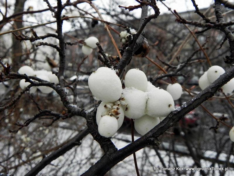 Krzew z białymi owocami pokarm dla ptaków