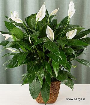 Skrzyd okwiat eleganckie bia e kwiaty ogrodnik tomek - Plantas venenosas de interior ...
