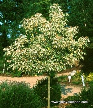 Klon białe liście