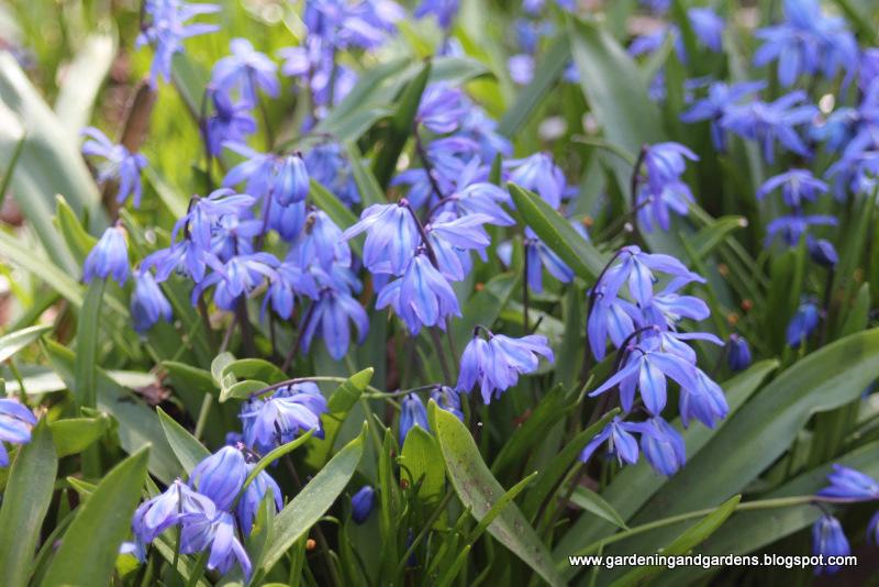 Wiosenne Kwiaty Cebulowe Krokusy Tulipany Narcyzy Ogrodnik Tomek