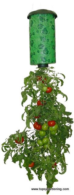 Pomidory W Kuchni I Na Balkonie Uprawa W Doniczce