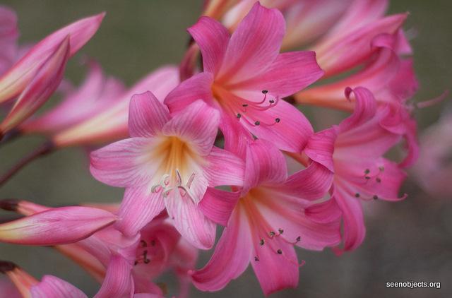 Kwiaty cebulowe kt re sadzimy wiosn ogrodnik tomek for Amaryllis belladonna vente