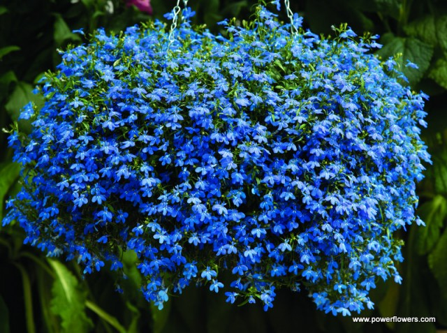 Kwiaty Balkonowe Najładniejsze Rośliny Ogrodnik Tomek