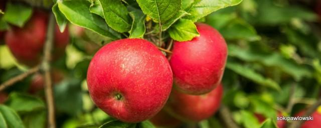 jabłuka