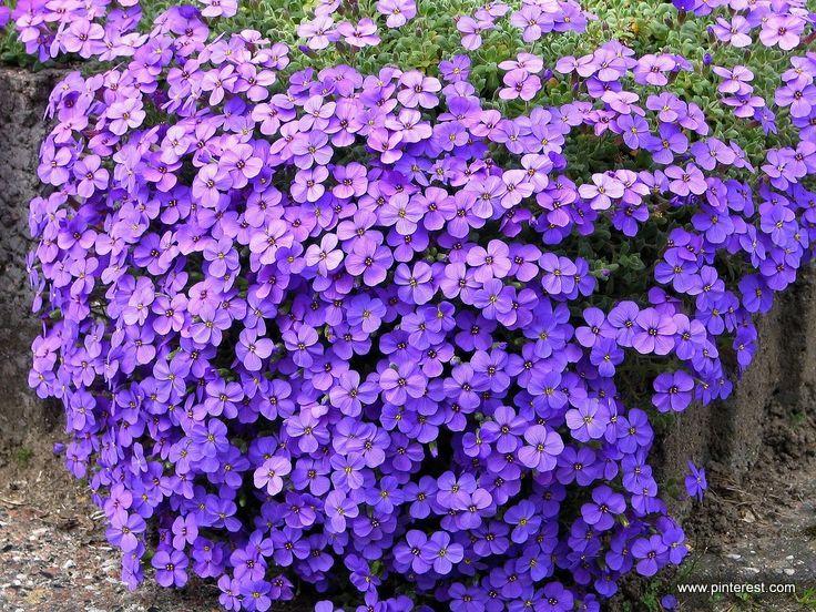 rośliny kwitnące na fioletowo