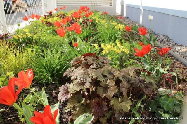 Kwiaty cebulowe - Ząbki