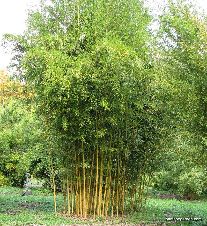 bambusy mrozoodporne w ogrodzie uprawa i piel gnacja ogrodnik tomek. Black Bedroom Furniture Sets. Home Design Ideas