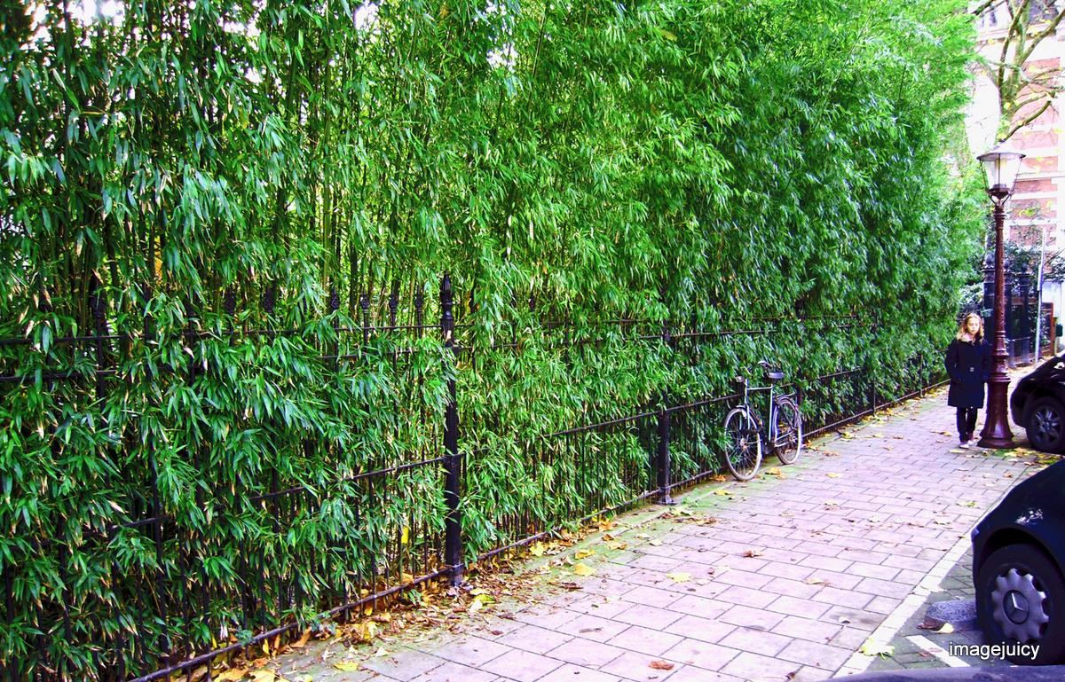 bambusy mrozoodporne w ogrodzie uprawa i piel gnacja. Black Bedroom Furniture Sets. Home Design Ideas