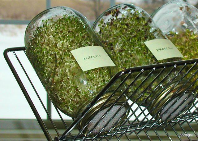 Uprawa kiełków – jak uprawiać bombę witaminową?