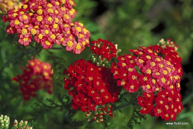 Krwawnik pospolity 'Paprika' (Achillea millefolium)-001