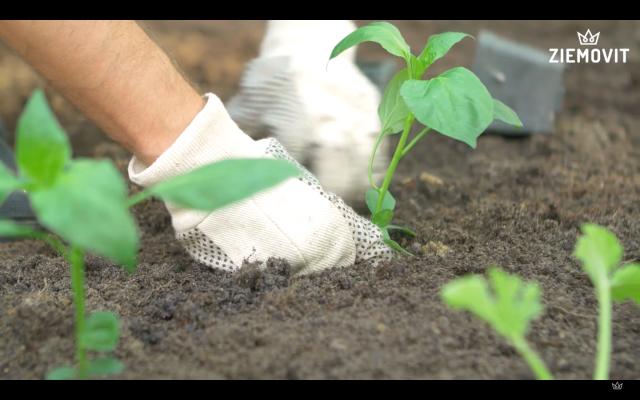 zakladanie warzywnika-ziemowit
