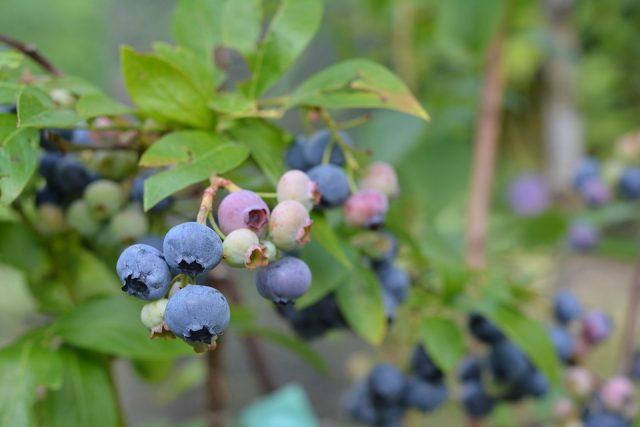 Kiedy I Jak Przycinamy Borówkę Amerykańską Ogrodnik Tomek