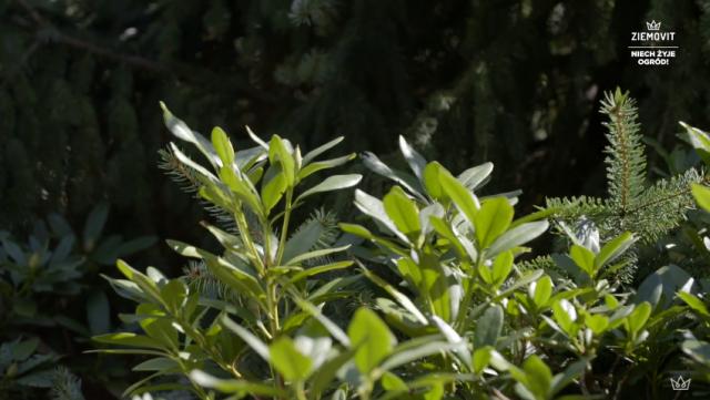 Jak pielęgnować rododendrony?