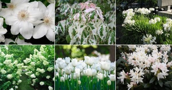 Biały ogród – inspiracje, zdjęcia, białe rośliny