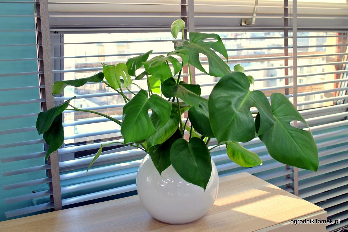 Monstera dziurawa – jak uprawiać najmodniejszą roślinę?