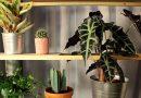 Alokazja amazońska – roślina o ciemnych, strzałkowatych liściach