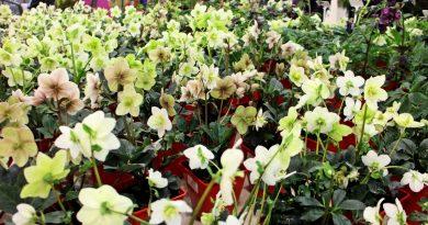 Ciemierniki – byliny kwitnące zimą