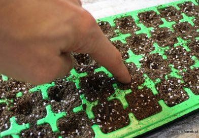 Sianie nasion kwiatów jednorocznych