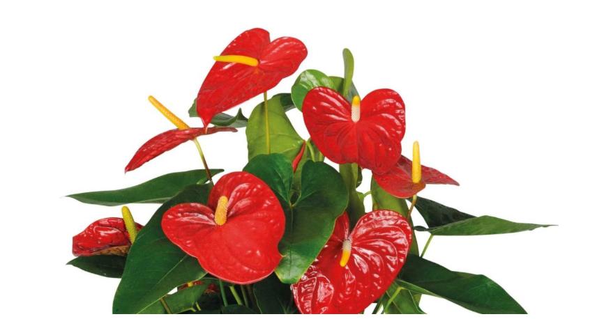 10 Najlepszych Kwiatów Do łazienki Ogrodnik Tomek